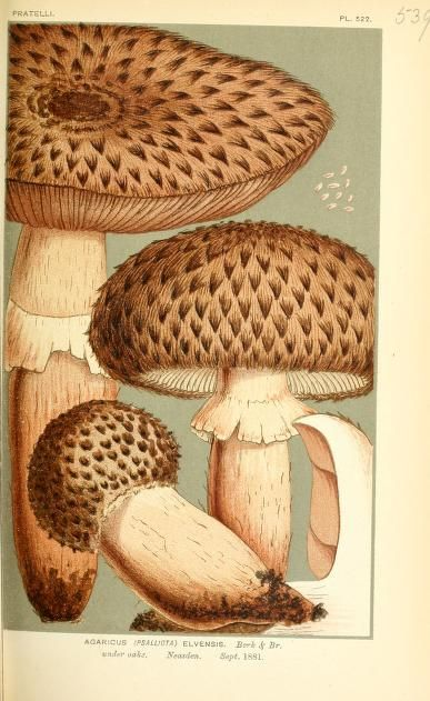 "Agaricus elvensis. Illustrations of British Fungi (Hymenomycetes), to serve as an atlas to the ""Handbook of British Fungi"" v.4 London: Williams and Norgate1881-91 Biodiversitylibrary. Biodivlibrary. BHL. Biodiversity Heritage Library"