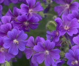 The Best Flowers to Plant in Morning Sun & Afternoon Shade  -cranesbill geranium -azaela -impatients