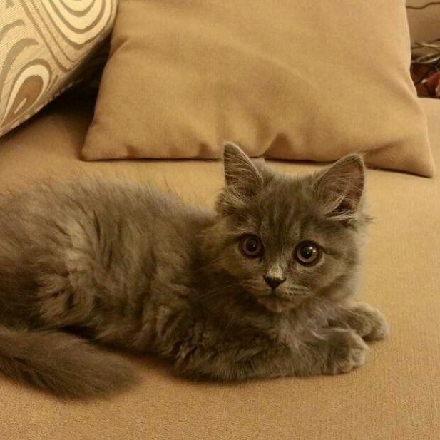 Meet Kahju our NEW smallest (500g) and youngest (3 months) Furchild Family Member!  Kahju in Hindi (an Indian language) means Cashew Nut    . #kitten #rawfedcat #abudhabicats #fluffy #cute #bigeyes #greycat #furbaby #healthypets #furchild