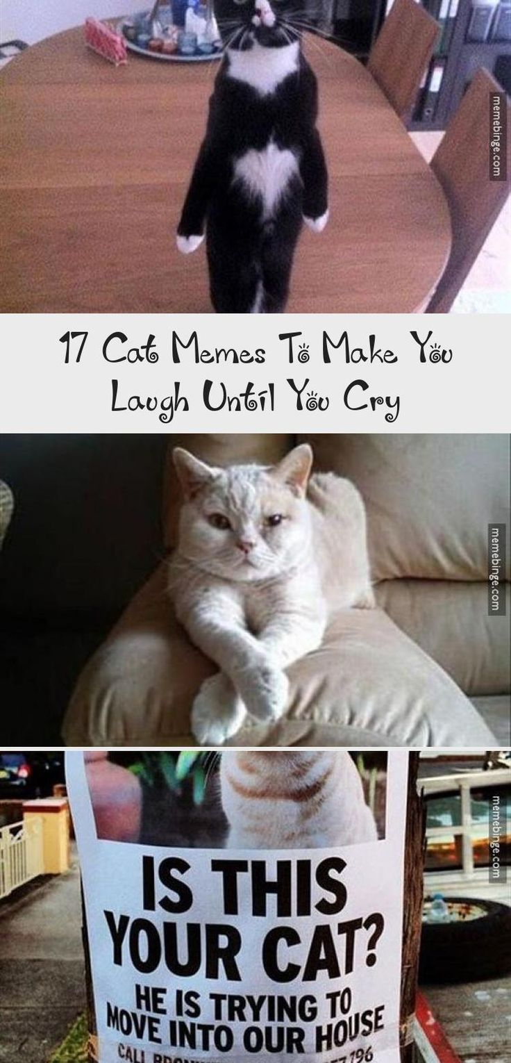 17 Cat Memes To Make You Laugh Until You Cry Cat memes