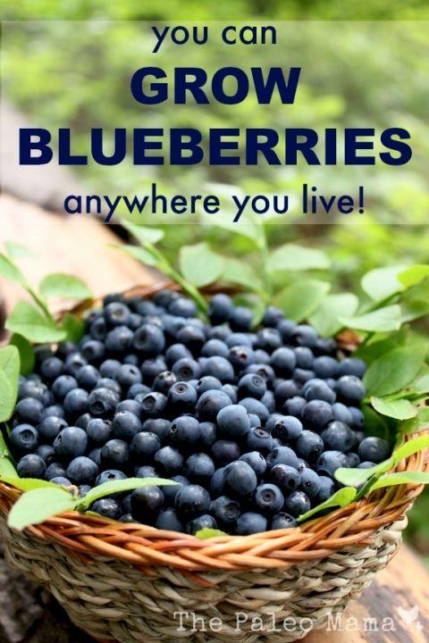 You Can Grow Blueberries | The Paleo Mama #PinMyDreamBackyard