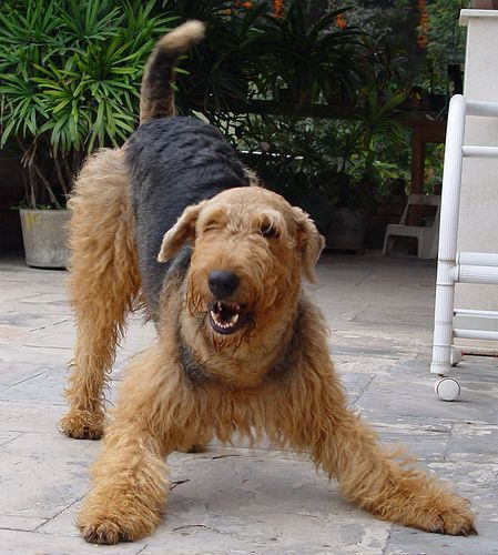 """The Airedale is nicknamed the """"King of Terriers,"""" as it is the second largest of the terriers (the largest is the Black Russian Terrier). The Airedale has a wiry coat and is a low shedder. No dog can be truly hypoallergenic, because every dog produces some kind of dander; however, this breed known for producing very small amounts of dander. Thus, most allergy sufferers do not have reactions."""