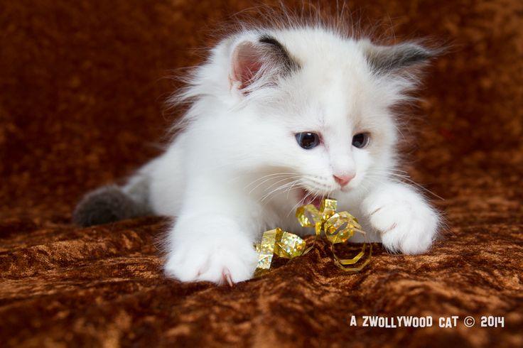 2014: Lightning A Zwollywood Cat. 9 Weeks old Ragdoll kitten, seal bicolour. Cars litter.