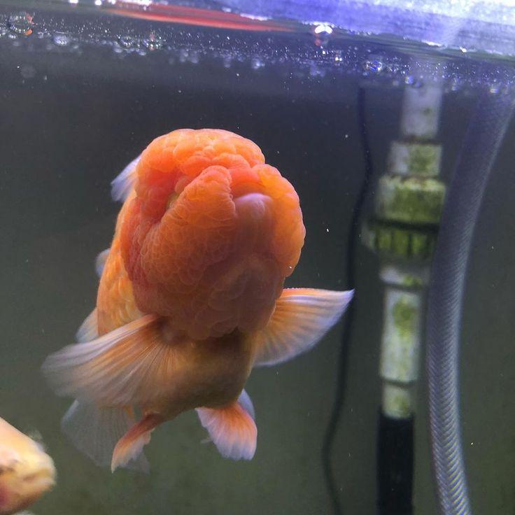 Cute Orange Oranda Goldfish Goldfish Oranda Goldfish Ocean Aquarium