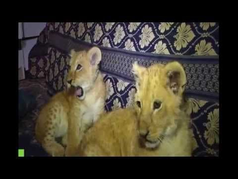 Lion living side by side with a Palestinian family - http://dailyfunnypets.com/videos/dogs/lion-living-side-by-side-with-a-palestinian-family/ - Lion living side by side with a Palestinian family Saad beauty achieved his wish to own a lion after that enabled him to the zoo in Rafah get Chaplin giving such two months of age. And walking... - (animal), (ethnicity), (film), aguilera, all, animals, bath, cats, christina, dog, each, family, genre), lion, other, palestinian, people