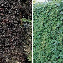Engelmann Ivy Vine- Well-supplied with tendrils, this is one of the best vines for clinging to walls of stone, brick or cement. Has small green leaves that become burgundy-red in the fall. Withstands severe cold and drought where other climbers fail. Suggested spacing is 5 feet apart.