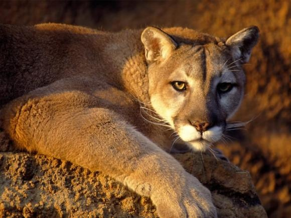 Mountain lions like to prey on deer, though they also eat smaller animals such as coyotes, porcupines, and raccoons. They usually hunt at night or during the gloaming hours of dawn and dusk. These cats employ a blend of stealth and power, stalking their prey until an opportunity arrives to pounce, then going for the back of the neck with a fatal bite. They will hide large carcasses and feed on them for several days.
