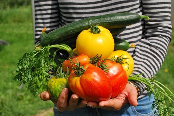 Semer ses légumes au potager permet de cultiver une diversité de variétés inégalées, comme avec cette récolte de vraies tomates cœur de bœuf, de tomates jaunes 'Lemon Boy', la tomate ancienne 'Green Zebra'...
