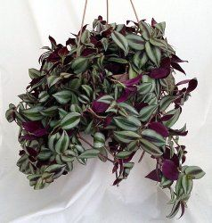 Silvery Purple Wandering Jew House Plant - Zebrina pendula - Care Tips. Height: Trailing stems can grow to 2 ft or more.  Light: Bright, indirect light. Water: Keep soil evenly moist in the growing season, slightly drier in winter.