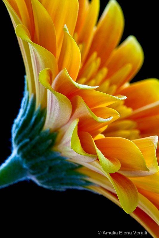 flower, macro, gerbera, daisy,  yellow, abstract - ID: 13105228 © Amalia Elena Veralli