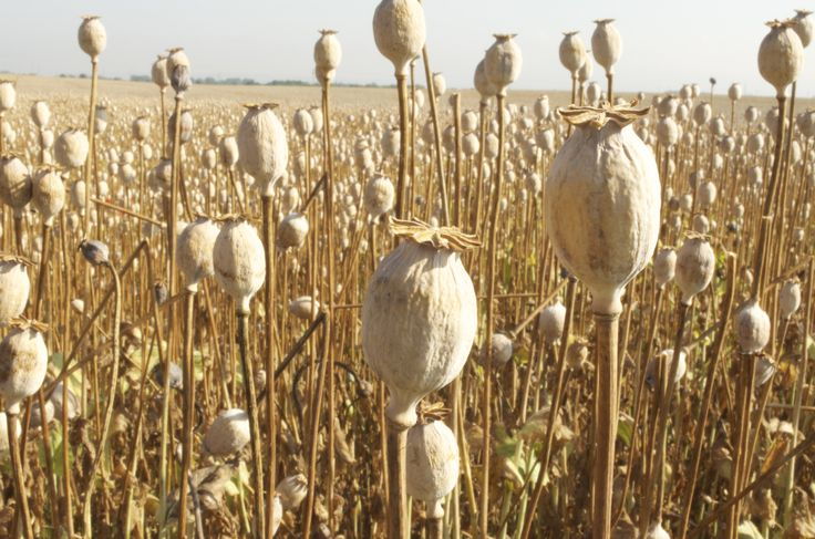 Dried Poppy Heads - in the field