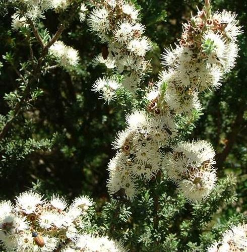 Buy Kunzea ambigua online | white kunzea | seedling | shrub | bush - ERA Nurseries Online Store