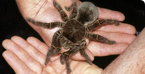 Theraphosa blondi, the Goliath bird-eating spider, is the world's heaviest spider. The heaviest on record was a captive adult female called Rosi, which topped the scales at 175g.    It usually feeds on insects such as crickets and beetles, but it also eats small mammals, frogs and reptiles, injecting venom into its prey with its 20mm fangs.