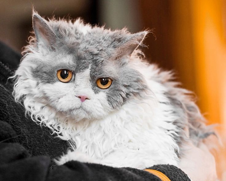 The Selkirk Rex has a curly coat and an unusual appearance. The cat makes a friendly and often sweet pet that likes to play but has a calm personality.