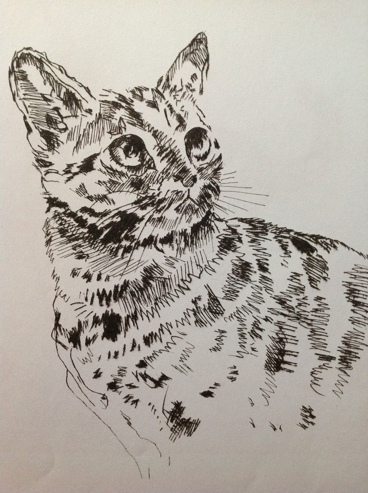 'American Short Haired Tabby' By Stephen Vicary Dry point Etching using Sepia Ink. www.stevevicay.co.uk