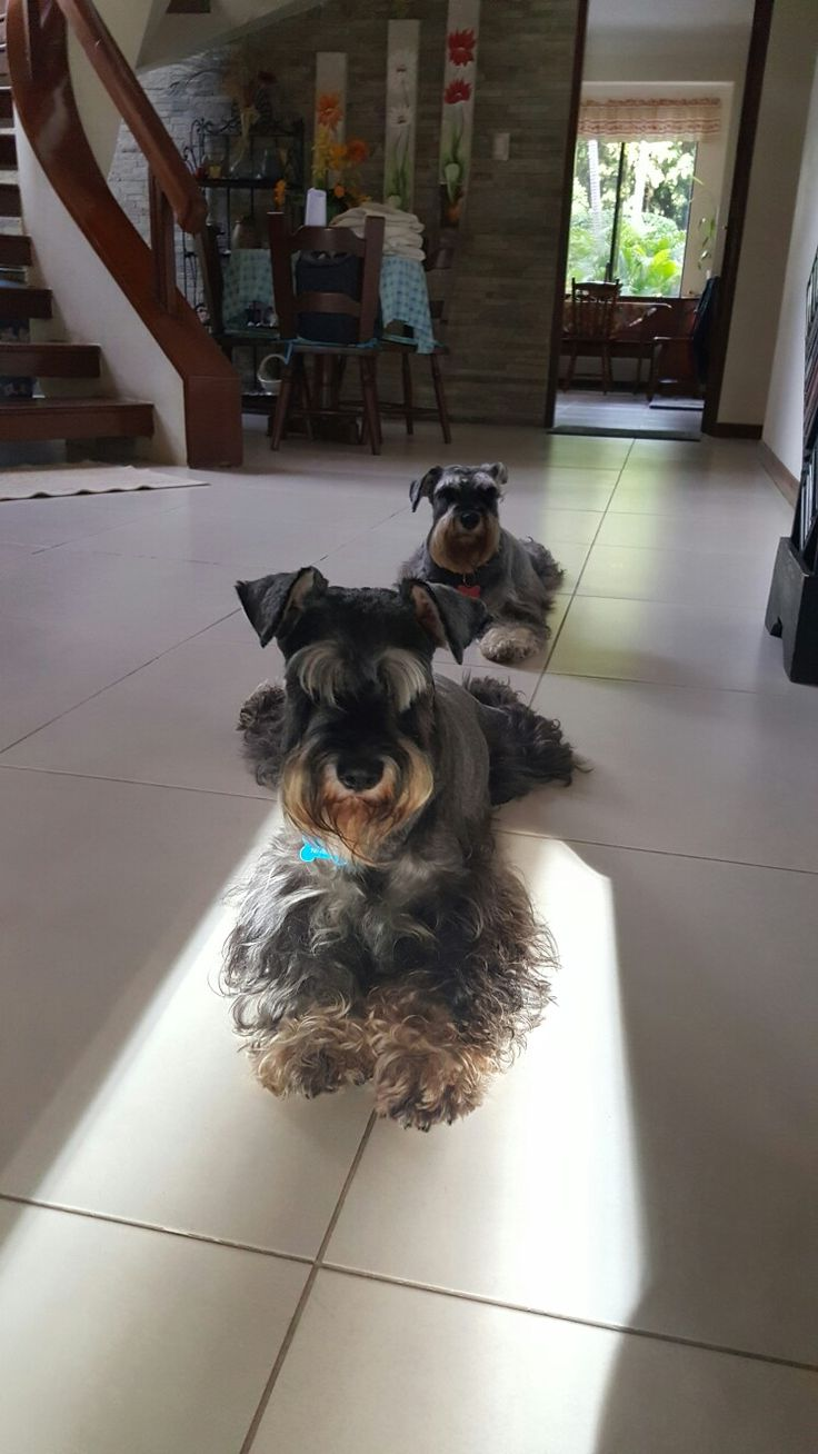 19396 best schnauzers images on pinterest schnauzers miniature schnauzer and mini schnauzer. Black Bedroom Furniture Sets. Home Design Ideas