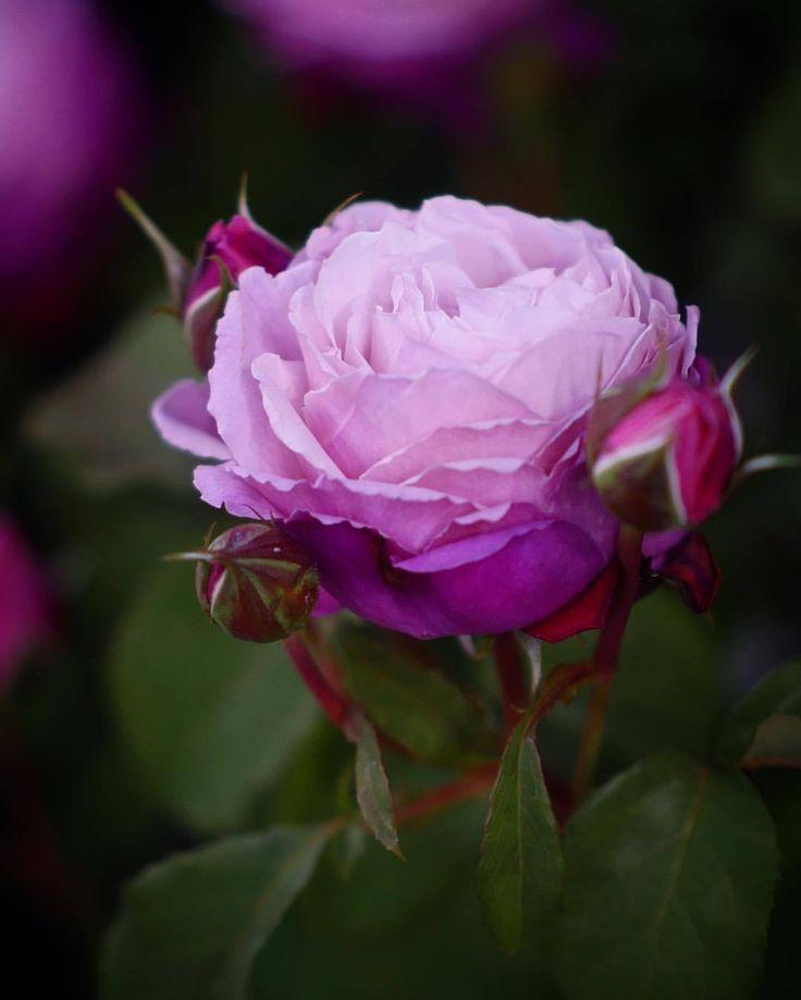 ちょっと変わった薔薇代表に登場してもらうよ。#国際バラとガーデニングショウ #バラ #薔薇 (国際バラとガーデニングショウ)