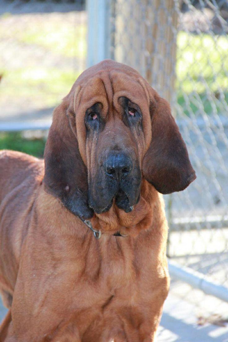 Bloodhound M named Sarge in North Myrtle Beach North