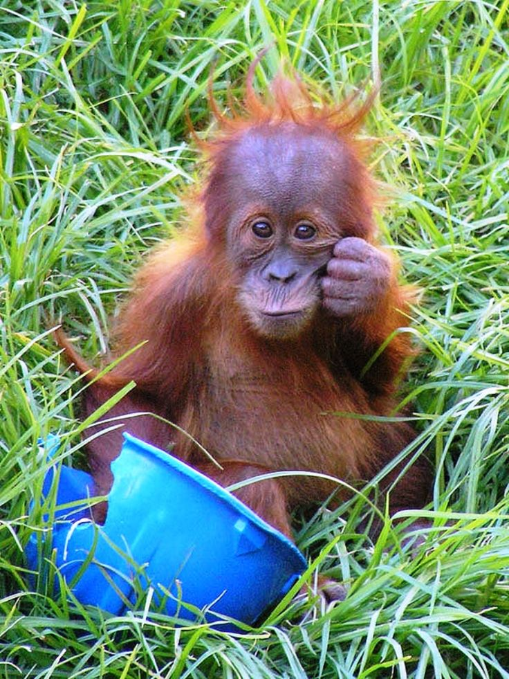 Yavru Orangutan