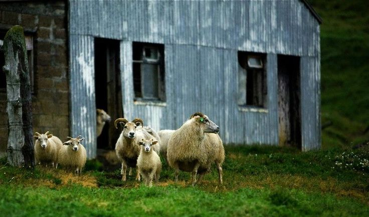 Sheep at Skogafoss, Iceland in July 2012. © Miikka Järvinen