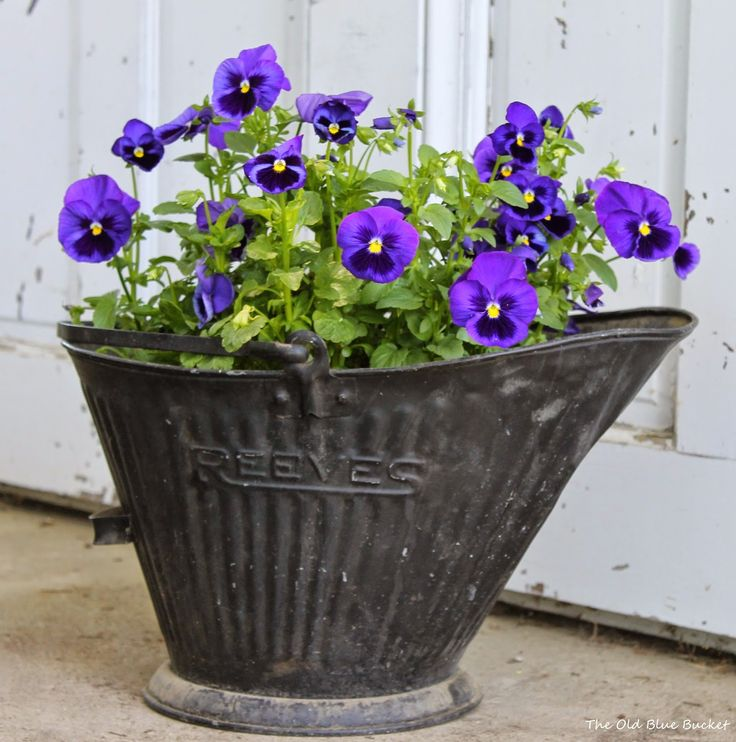 Pansies in a vintage coal bucket ~ The Old Blue Bucket