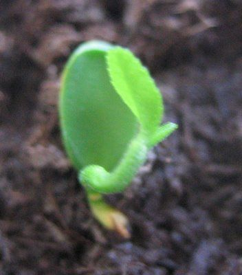 An easy and effective way to germinate lemon seeds