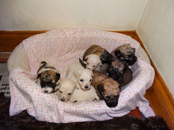 Teddy Bear Puppy Problems Zuchon Teddy Bear Pups For