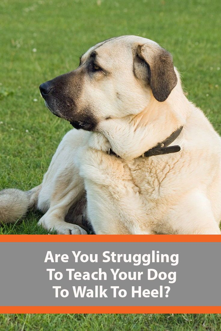 Teach Your Dog To Heel A Step By Step Guide Dogs Your Dog