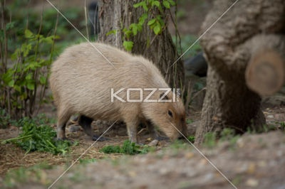 biggest rodent - Capybara is the biggest rodent that resides in the jungles of south America.