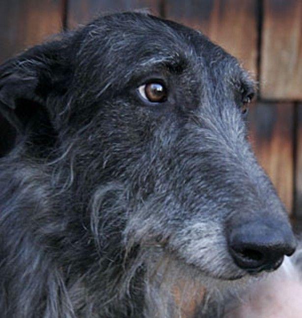 Image result for scottish deerhounds