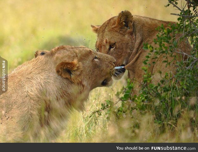 Lion removes tranquilizer dart from lioness