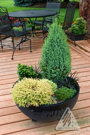 Dwarf Conifers in Containers.  Beautiful, colorful and very cold tolerant, these plants are perfect for long lasting winter arrangements.