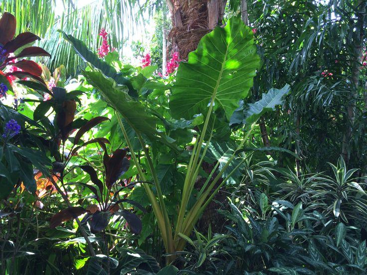 Tropical Garden, Alocasia