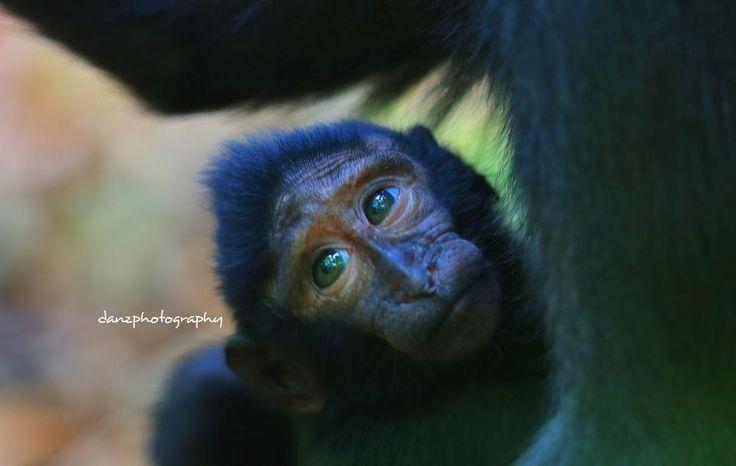 monkey Tangkoko National Park