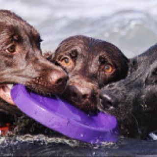 Labs are so at home in the water with their webbed feet ...