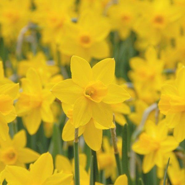 Süß ist die Narzisse 'Sweetness' wirklich. Mit ihrem Gelb vertreibt sie jede Frühjahrsmüdigkeit. Toll für den Garten! Pflanzzeit ist im Herbst - online erhältlich bei www.fluwel.de