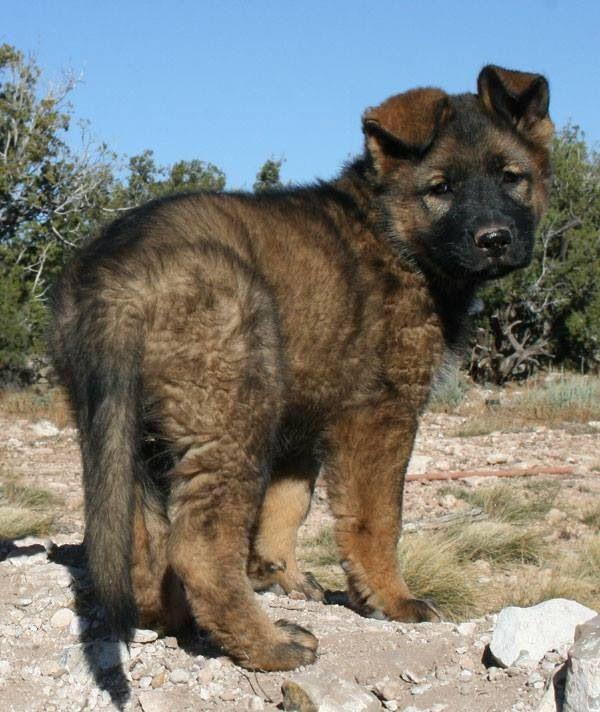 DDR German Shepherd Dog puppy                                                                                                                                                                                 More