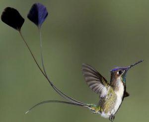 Fauna de la selva peruana - El colibrí maravilloso