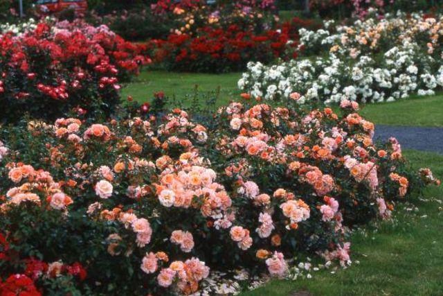 Rosier couvre-sol : utilisation au jardin ou en pot, résistance aux maladies, choisir les meilleures variétés de rosier couvre sol