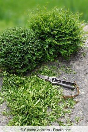 Die besten 25+ Immergrüne bäume Ideen auf Pinterest - pflanzen fur steingarten immergrun