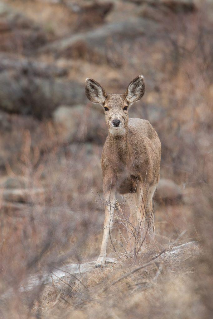 Eric Penet posted a photo:  Un autre grand herbivore des Rocheuses, le cerf mulet. Ici uniquement des biches et jeunes.  Jeune cerf mulet au Parc National des Montagnes Rocheuses