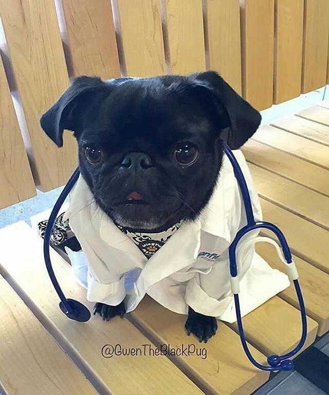 Cute Animals Hd Images Free Download Pug Puppies Black Pug