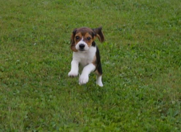 Green Hill: riprendono gli affidi. Già 2.115 beagle adottati