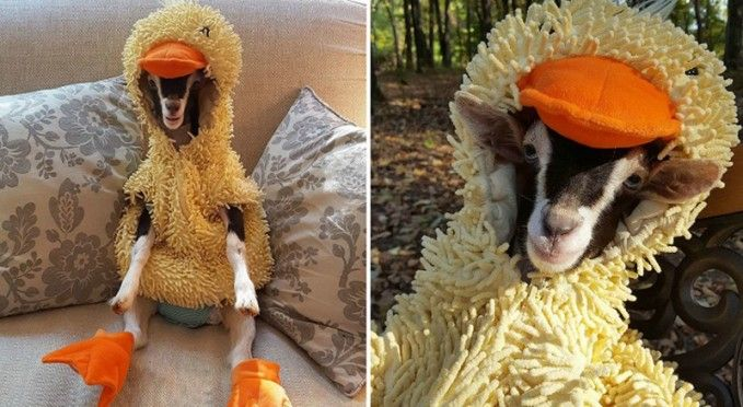 Adorable Rescue Goat Only Calms Down When She Wears A Duck Costume - Rescue goat suffers anxiety calms duck costume