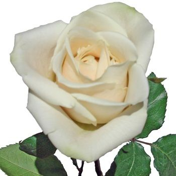 FiftyFlowers.com - Ivory Cream Rose Free Shipping