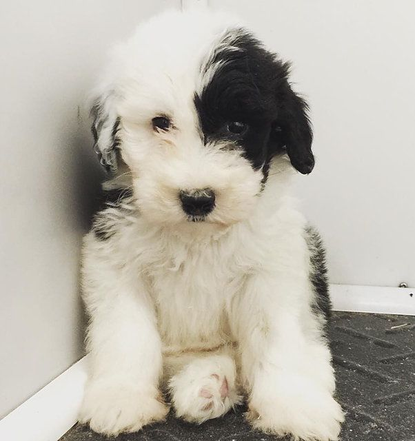 Sheepadoodle Puppies United States Feathers And Fleece Farm Sheepadoodle Sheepadoodle Puppy Old English Sheepdog Puppy