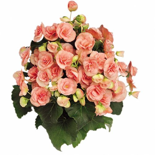 begonia elatior rieger nelly annuals pinterest shades nelly and 12. Black Bedroom Furniture Sets. Home Design Ideas