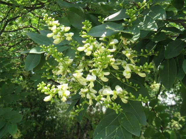 8月12日の誕生日の木は「エンジュ(槐)」。 原産地は中国北部。マメ科の落葉性樹木で、生長すると高さ25m直径70cmの大木に育ちます。木質は非常に硬く、成長は遅い木です。 日本には、仏教伝来と共に中国より伝えられ、古くから栽培されています。 中国名を「槐(ファイ)」といい、和名にもこの漢字があてられています。中国では縁起の良い木として知られ、その昔、お面などをエンジュの木で彫刻し、家の鬼門に置いた事から、木辺に鬼で、槐(えんじゅ)と書きます。 日本でも昔から「しあわせの木」としてとても大切にされ、「延寿」と書いて長寿や安産、魔除けのためのお守りにも使われたことがあるとの事です。