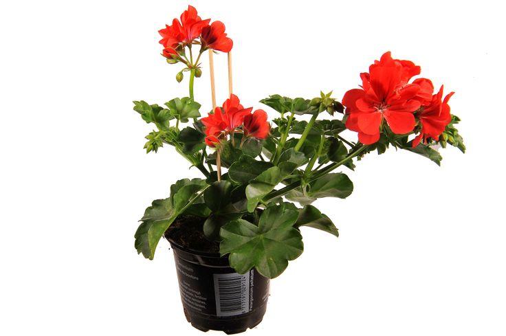 Pelargonium Peltatum Maxime rood | Peter van Os / Pelargonium Peltatum ...