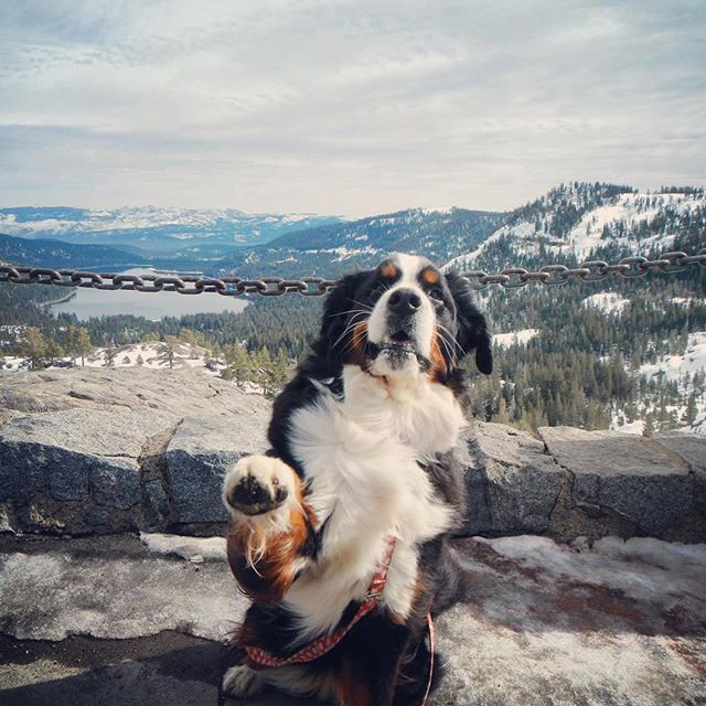 """Donner Pass! High five!"" -Cali #100daysofDrawingCali #bernesemountaindog #dogsofinstagram"